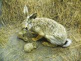 Zajíc polní (foto: H. Zell, zdroj: Wikimedia)